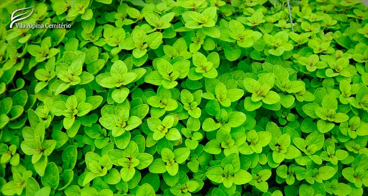 Folhas naturais de orégano